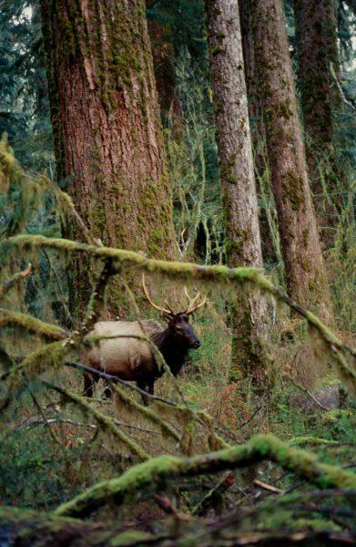 olympic national park elk